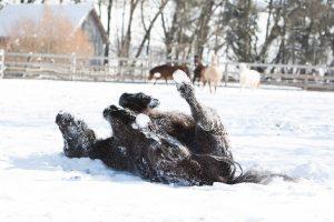 Warm eingepackt durch Herbst und Winter – der Winterpelz hält warm und schützt vor Feuchtigkeit und Erkältungen. Ob Du Dein Pferd scherst oder nicht, hängt unter anderem von Deinen reiterlichen Ambitionen ab.
