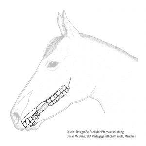 Querschnitt des Pferdegebisses – Hier ist die Lücke, durch die das Gebiss geführt wird – das Diastema – gut zu erkennen.
