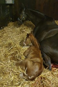 Stute mit frisch geborenem Fohlen (Quelle: trakehnerzucht-boehn.de)